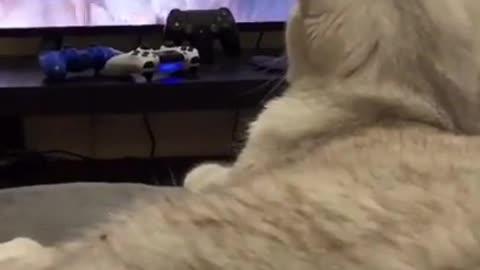 cat watching tv simply amazing!