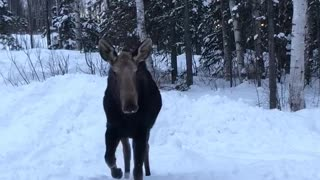 Curious Moose Comes in Close