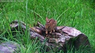 Rabbit On A Log