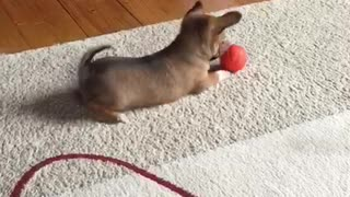new pet dog playing with a toy