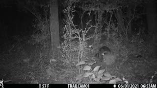 Raccoon raccoon raccoon
