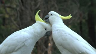 Big white birds caressing each other - With great music