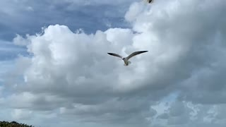 Seagulls slow motion flight