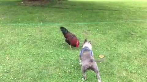 Pitbull Puppy and Rooster Part 1
