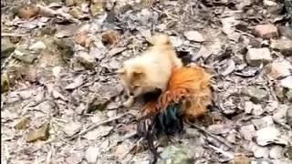 Chicken bully dogs