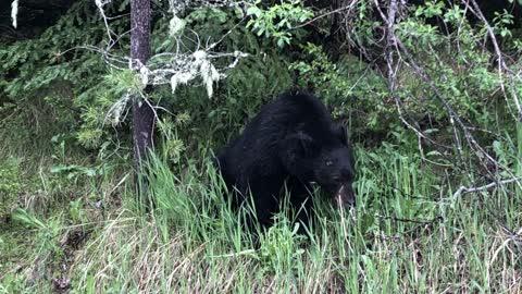 Cute bear eating grass