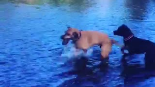 Crazy dog obsessed with fetching rocks out of river