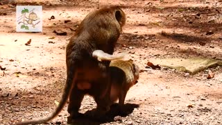 young monkey make mating funny