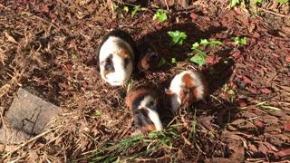 Guinea Pigs Eating Grass, Guinea Pigs!