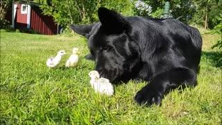 German Shepherd greets newborn turkey & duck chicks