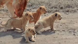 Africa Pride ( cute baby lion cubs with mom)