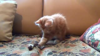 Adorable Little Kitten Playing His Toy Mouse