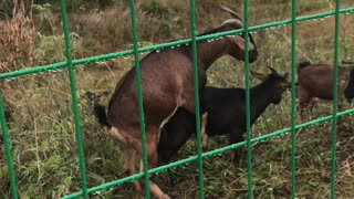 Goat Running
