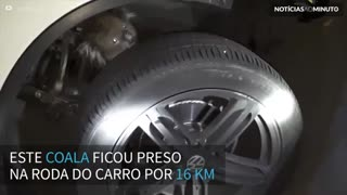 Coala preso em roda de carro e percorre mais de 16 quilômetros