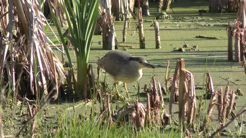 Black crowned Night Heron feeds in the swamp