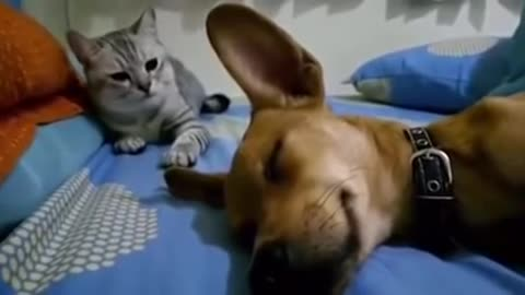 when Dog Sleep Farting Makes the Cat Angry