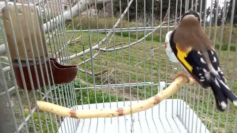 My little bird is singing, very sweet