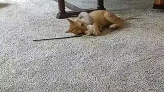 Kitten gets tangled in toy