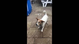 Jack Russell catching squirts from waterpistol