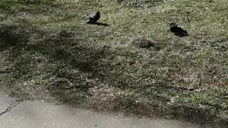 Pigeons have love.