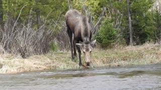 Moose Calf Struggles in Stream
