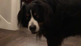 Watch this huge dog adorably protest a grooming session