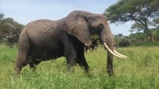 Wild Elephant Feeding