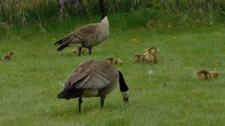 Animals Birds Canada Geese