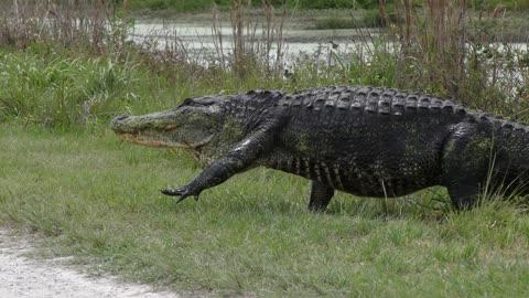 large alligator crossing road in Florida wetlands