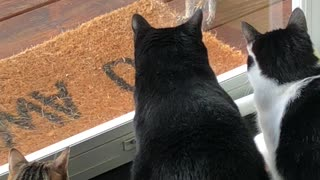 Brave Squirrel Taunts A Mesmerized Pack Of Cats
