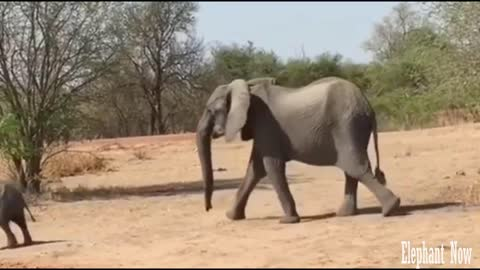 The Elephants ' Family Walk in Front Of Us And we're in the car.