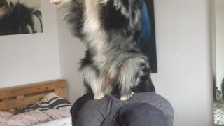 Cute dog doing awesome tricks with his owner