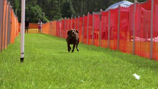 Labrador Retrievers aren't just water dogs