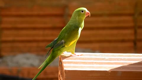 Lovely Green Parrot in my Garden