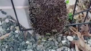 Fence Cut to Rescue Stuck Hedgehog