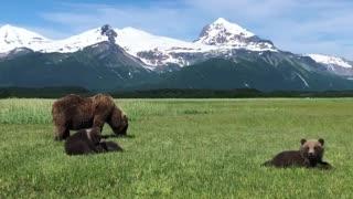 Family of Bears Graze on Grass