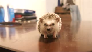 awesome little hedgehog video