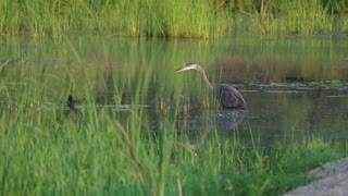 Fast Facts about Great Blue HeronScientific name : Ardea herodiasAverage height :