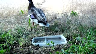 Mallard Couple enjoy Quayle Water 04