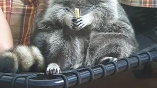 Raccoon sitting there chewing gum like a human being