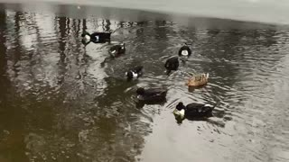 Ducks Swimming with Ice