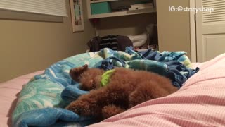 Dog tries to get pillows perfect