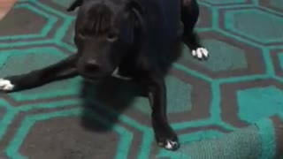 Hyper dog furiously defends rug from brother