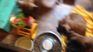 Phoenix Ridge Boxers Puppies playing!