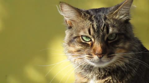 Vedio of a tabby cat