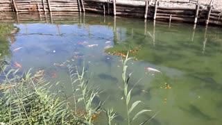 Beautiful fish in the lake