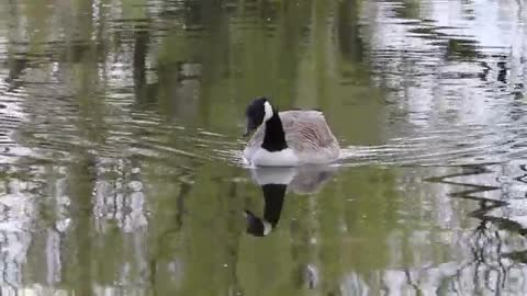 Watch the beautiful goose swimming in the lake at noon