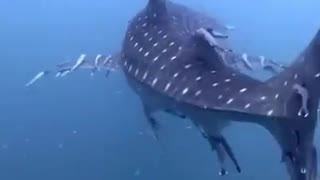 Remora whale shark