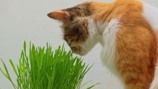 Le chat se soigne
