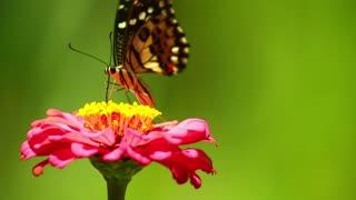 Farfalla Insetto